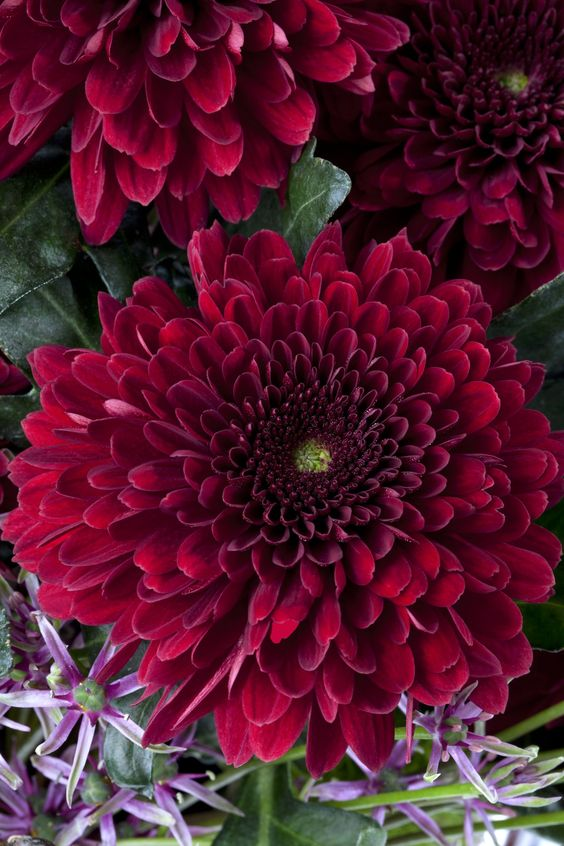 Chrysanthemum - via new plantsandflowers.com